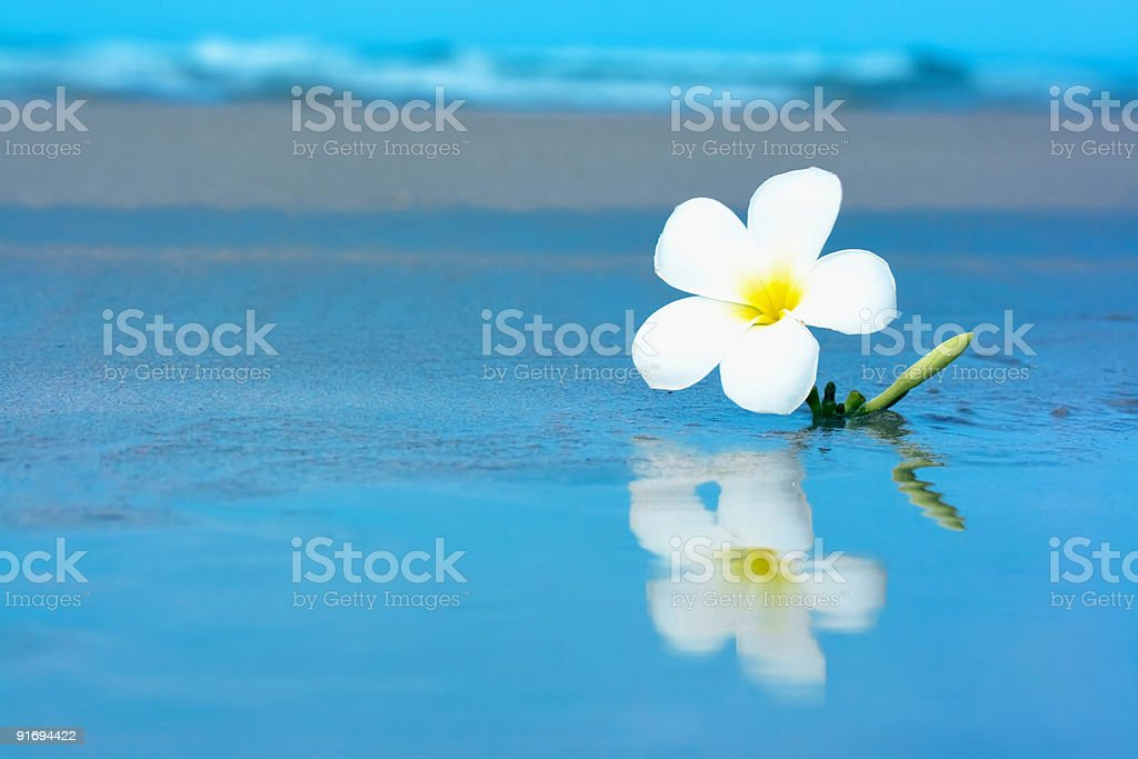 Tropical flower on the beachv royalty-free stock photo