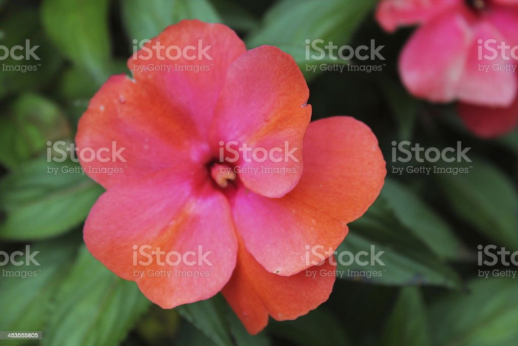 Tropical Flower royalty-free stock photo