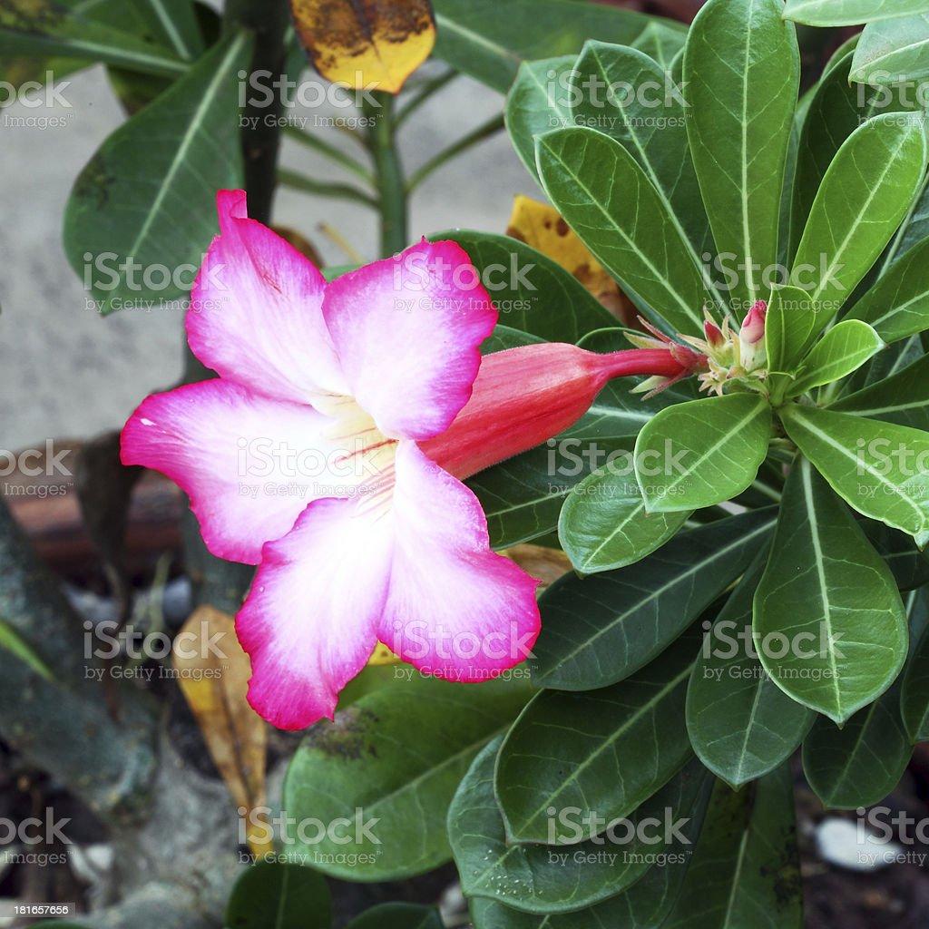 Tropical flower Pink Adenium royalty-free stock photo