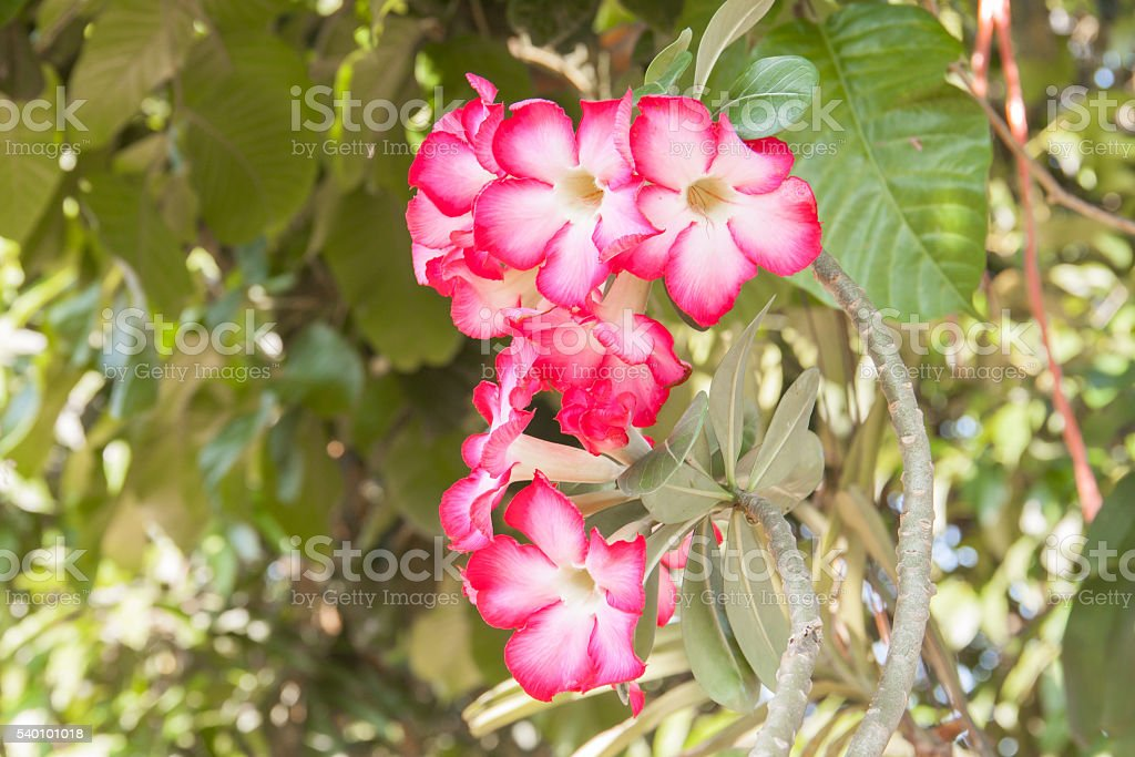 Tropical flower Pink stock photo