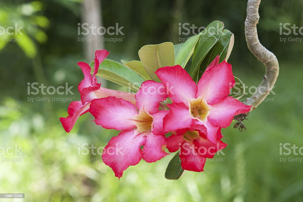 tropical flower with soft boke royalty-free stock photo