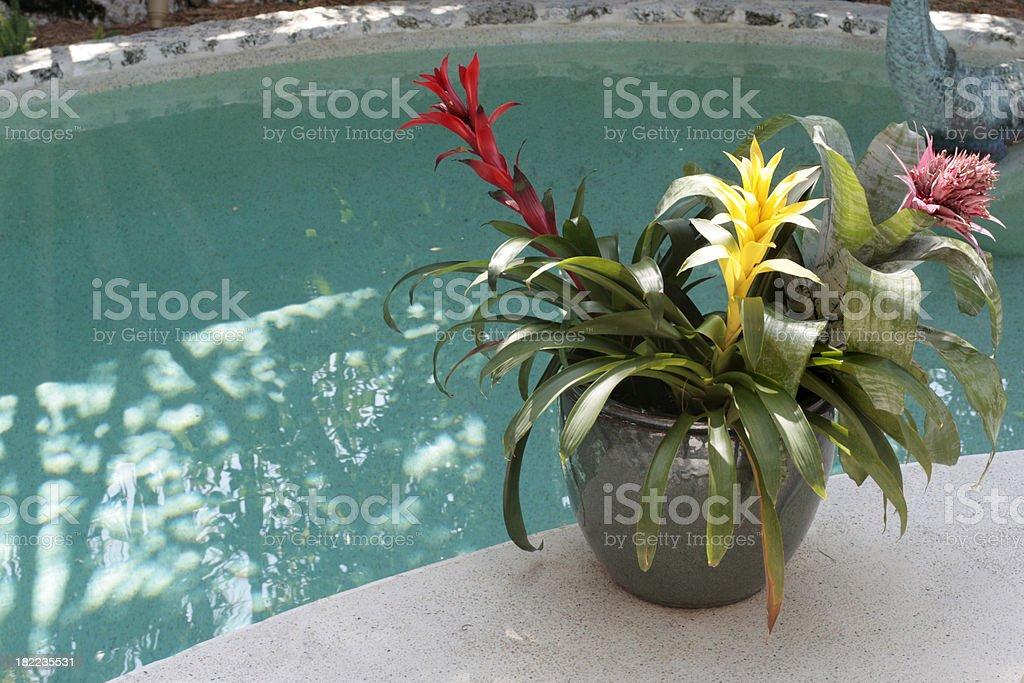 Tropical flowers, bromeliads, alongside pool. stock photo