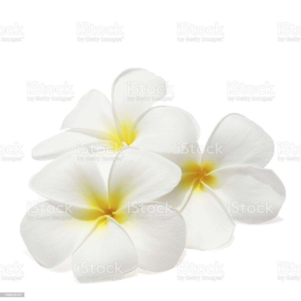 Tropical flowers frangipani stock photo