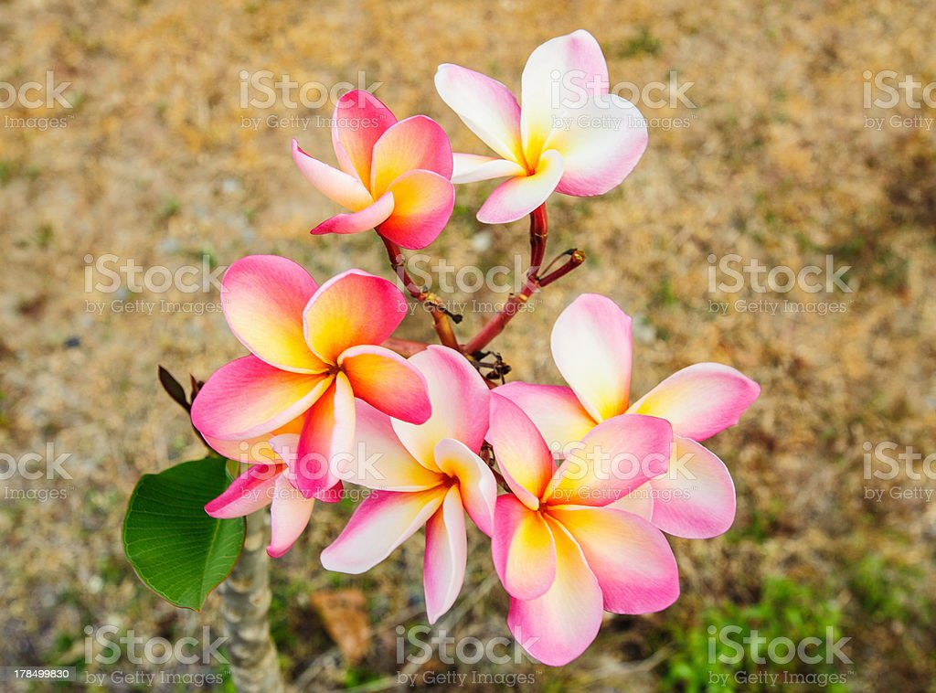 Tropical flowers frangipani royalty-free stock photo
