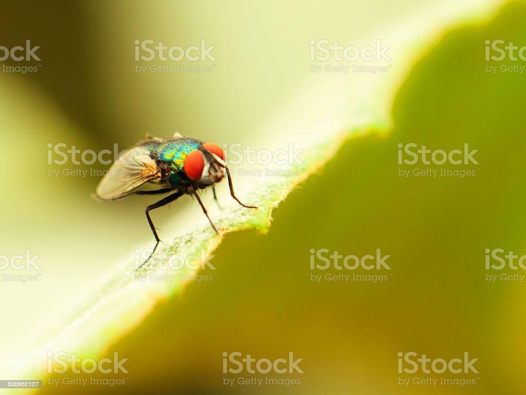 Tropische Fly Lizenzfreies stock-foto