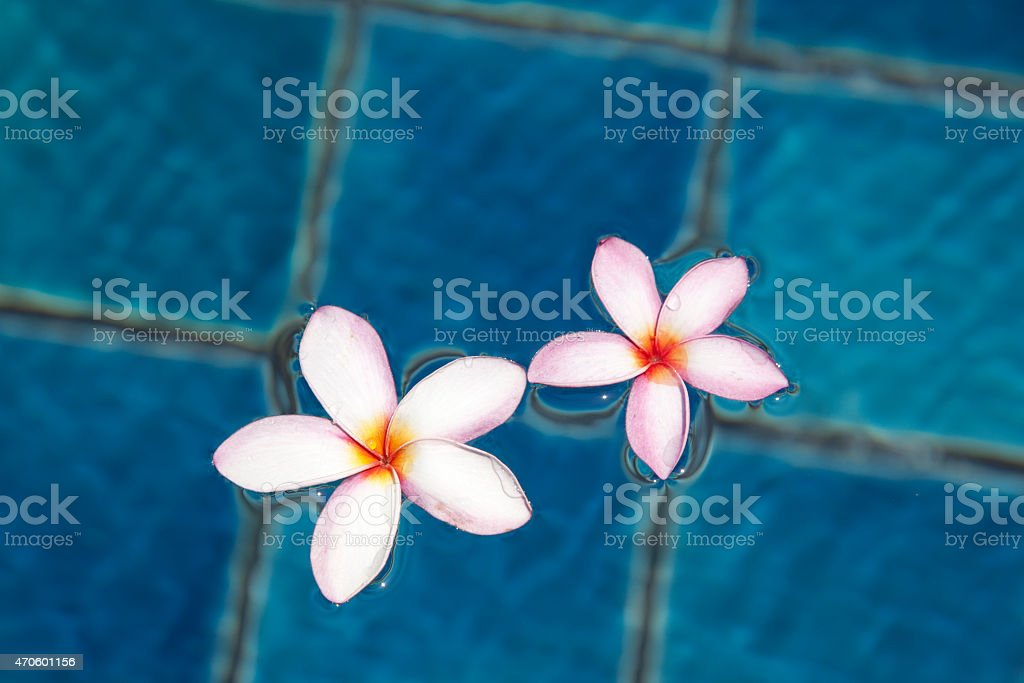 Tropical frangipani flower floating in blue water stock photo