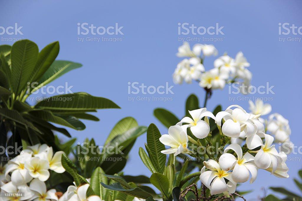 tropical frangipani flowers blue sky royalty-free stock photo