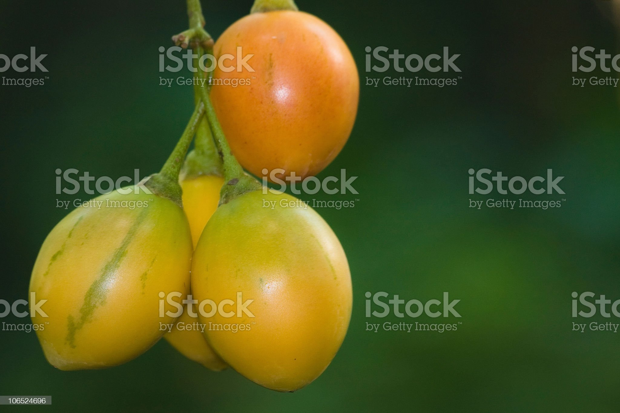 Tropical fruit hanging on a tree royalty-free stock photo