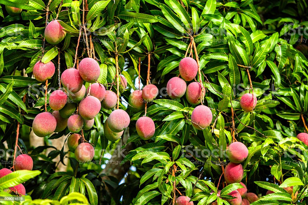 Tropical fruits - ripe mangoes growing on tree stock photo