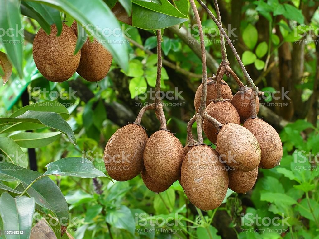 tropical fruit,Sapodilla royalty-free stock photo