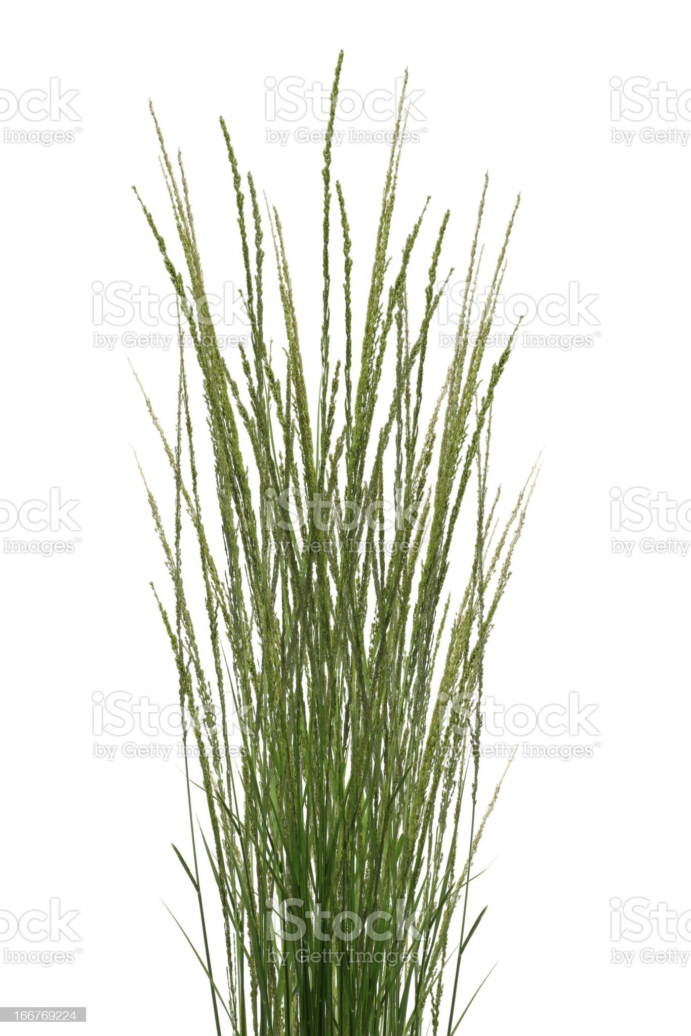 Tropical Grass Stalks royalty-free stock photo