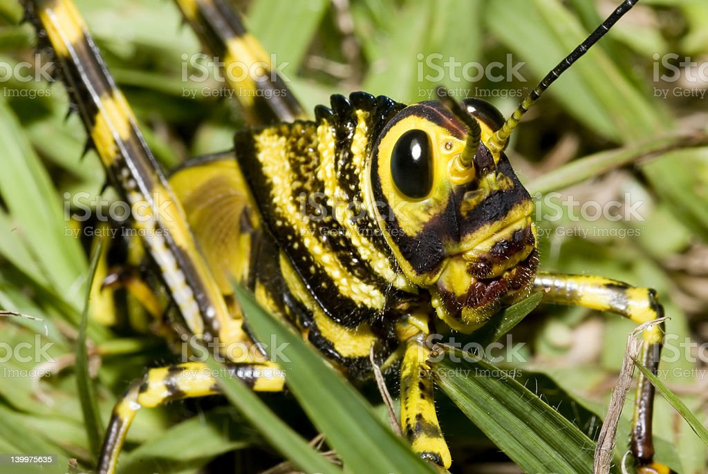tropical grasshopper royalty-free stock photo