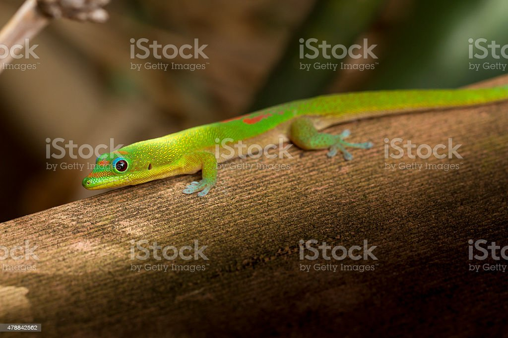 Tropical Green Gecko Lizard stock photo