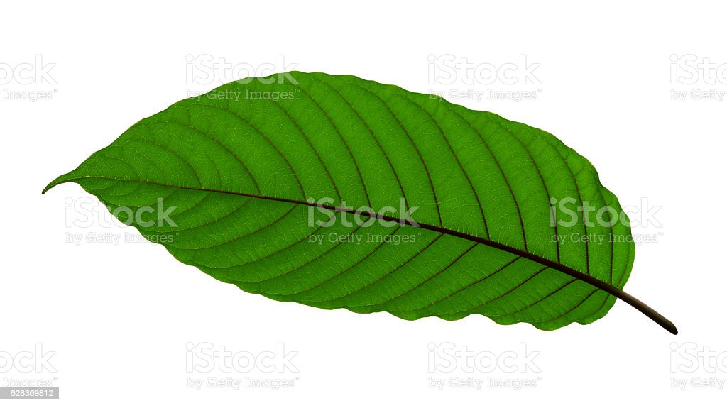 Tropical green leaf isolate with clipping path stock photo
