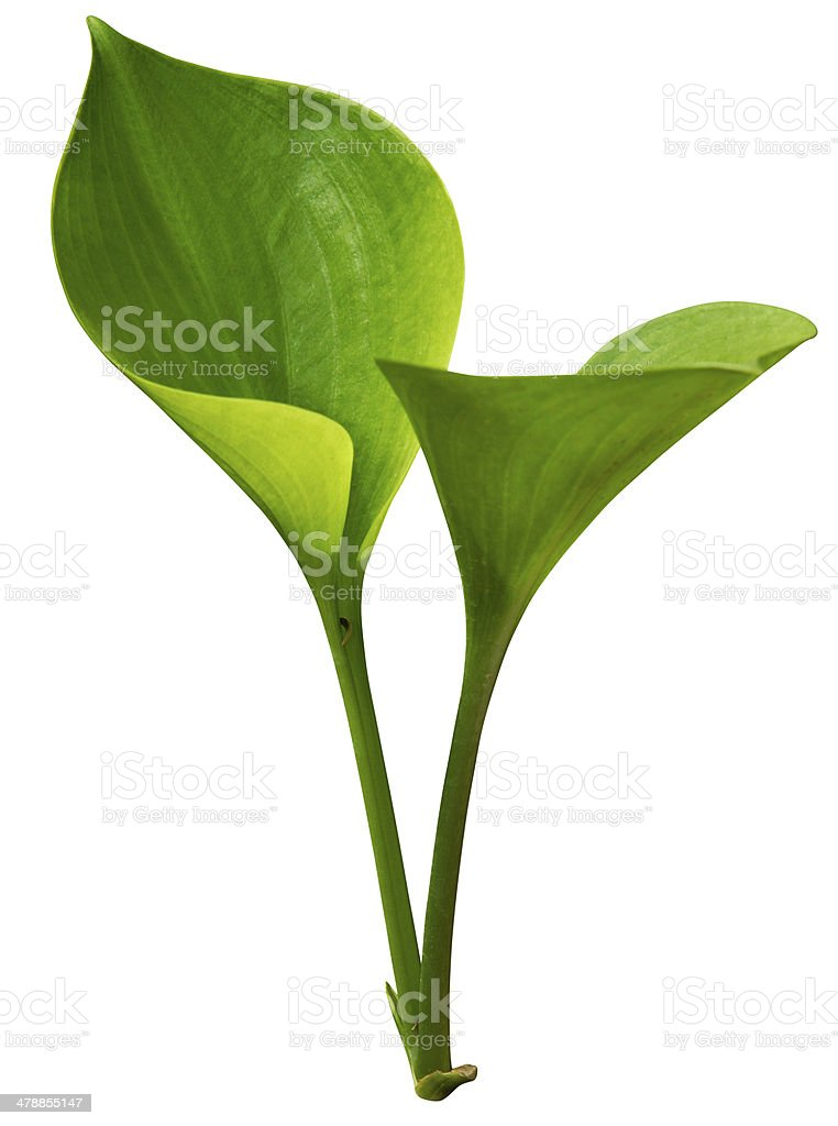 Tropical green leaf isolated on white with clipping path stock photo