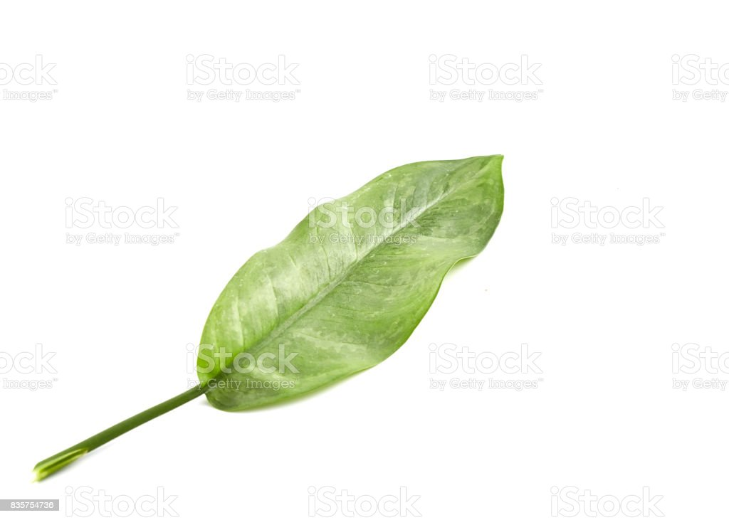 Tropical green leaf leaves Background stock photo