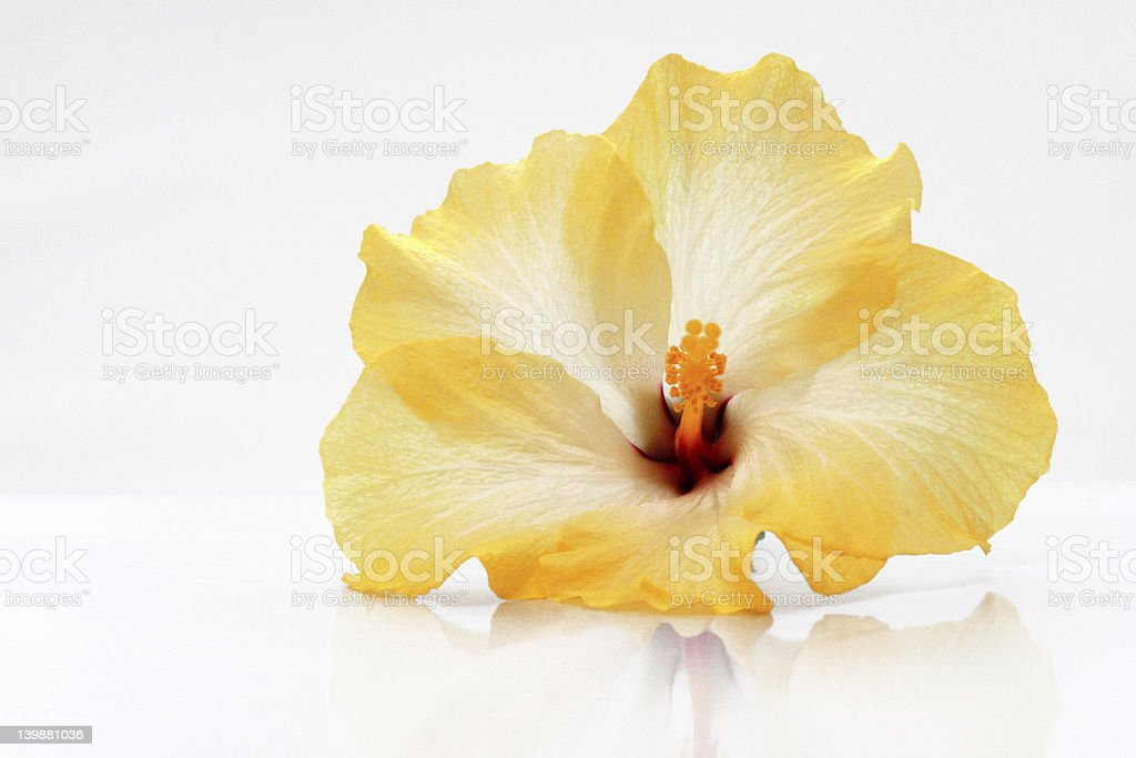 Tropical Hibiscus Flower royalty-free stock photo