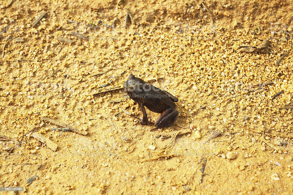 Tropical horned frog stock photo