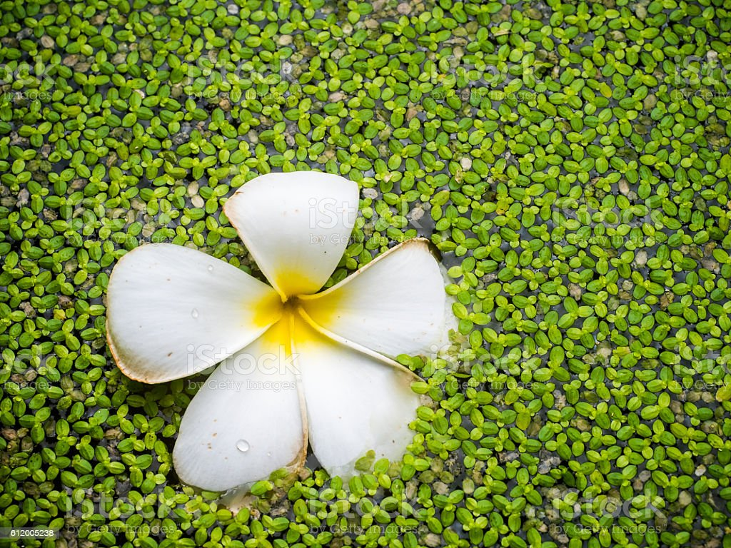 Tropical jasmine flower (plumeria) and water fern stock photo