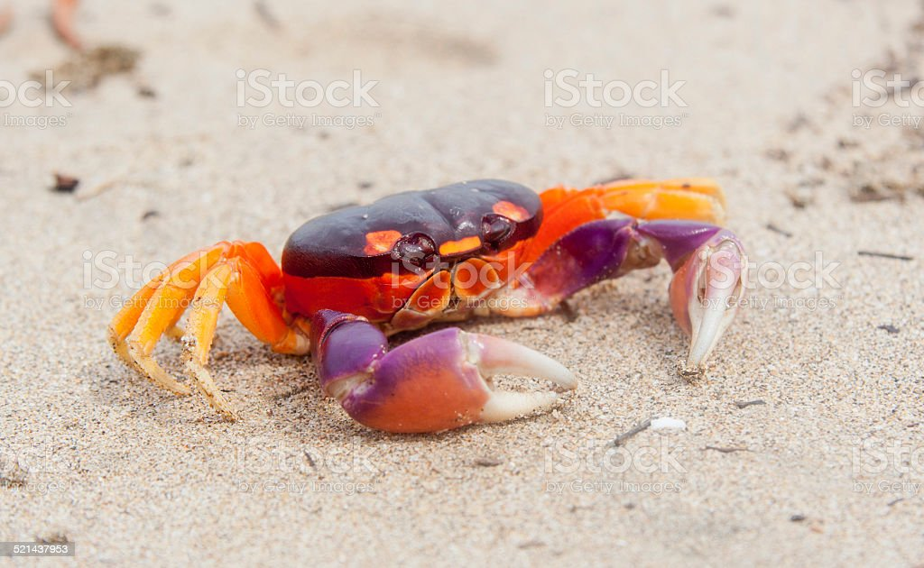 Tropical Land Crab in Costa Rica stock photo
