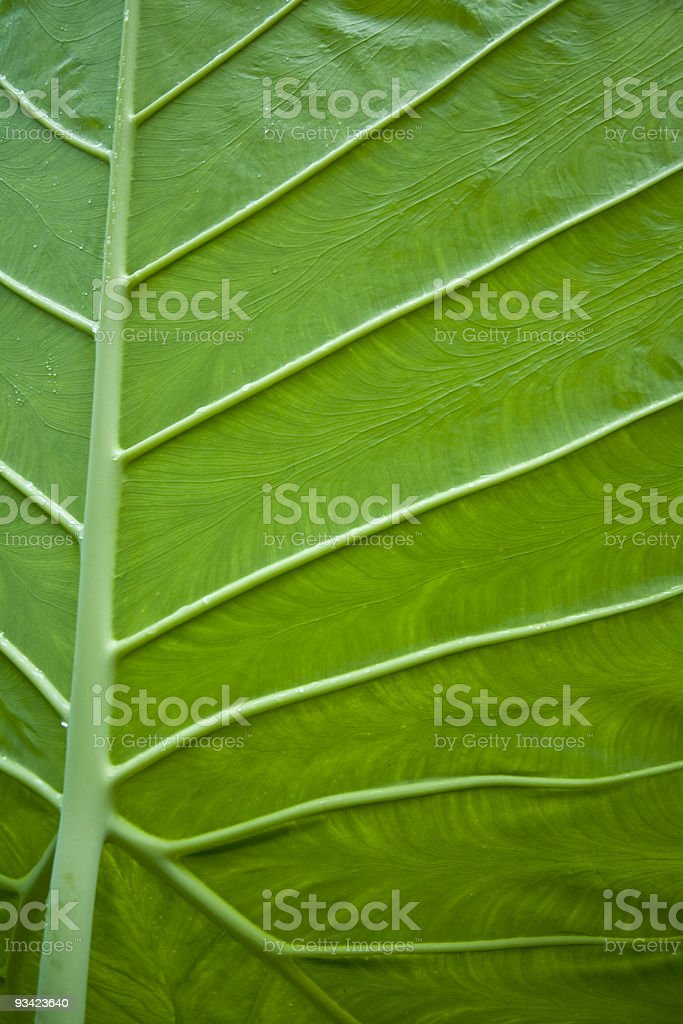 tropical leaf veins royalty-free stock photo
