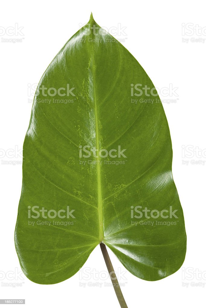 Tropical Leaf With Clipping Path stock photo