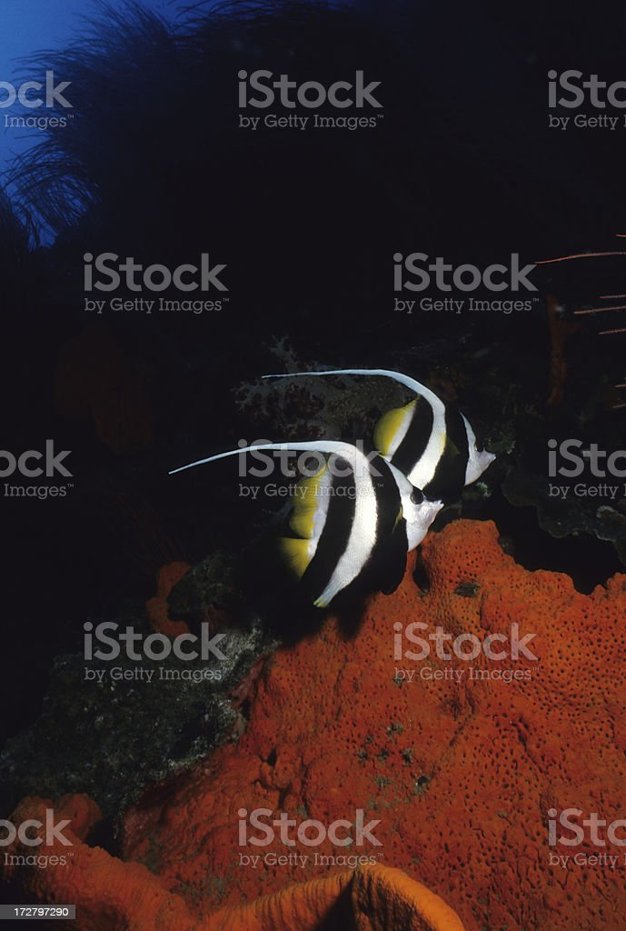 Tropical Longfin Bannerfish stock photo