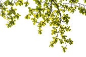 Tropical Malabar almond branches and leaves
