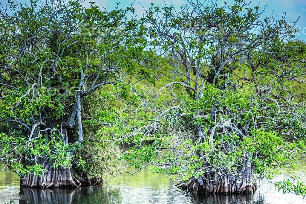 Tropical Mangroves stock photo
