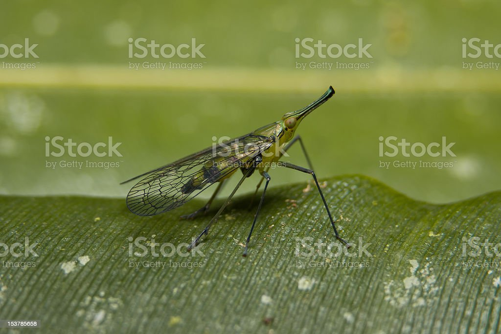 Tropical Mosquito stock photo