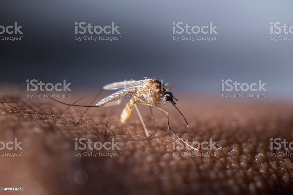 Tropical mosquito stock photo
