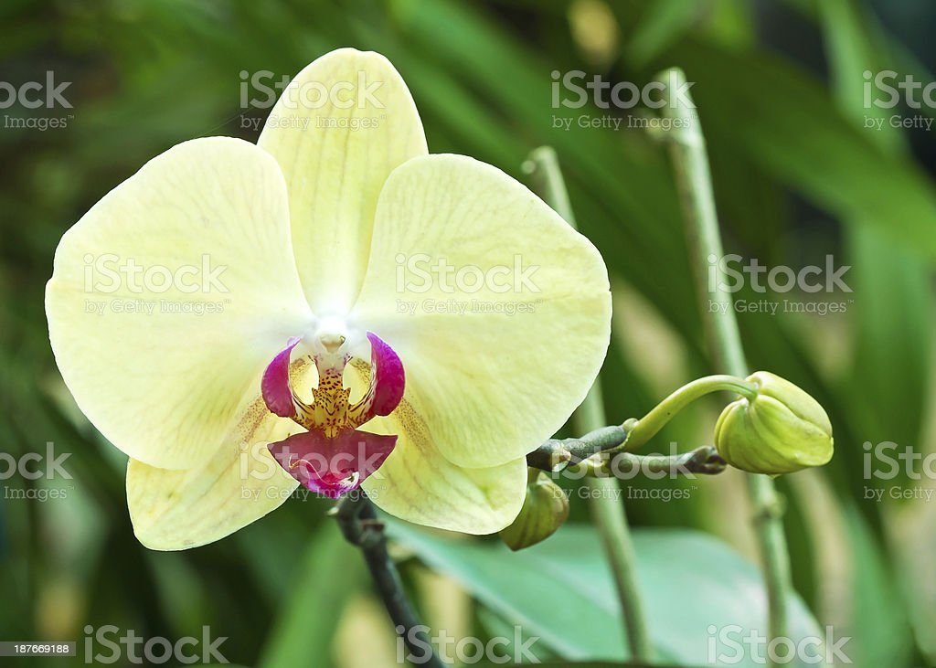 Tropical orchid stock photo