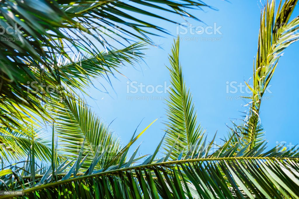 Tropical palm and sky. Palm leaves in tropics and sun light, natural texture. stock photo