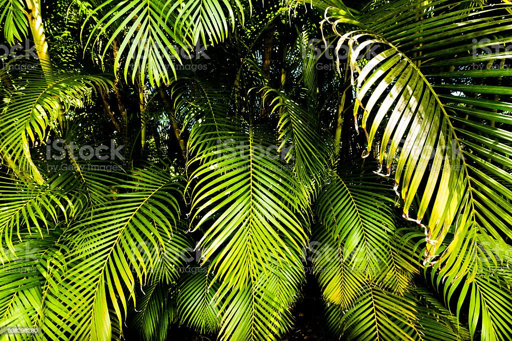 Tropical Palm Frond Plant Leaves Growing Big Island Beach Hawaii stock photo