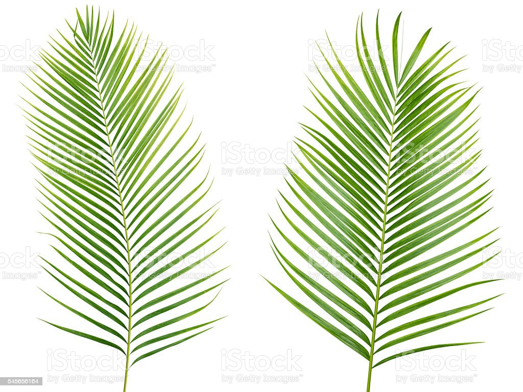 Tropical palm leaf isolated on white background with clipping path stock photo