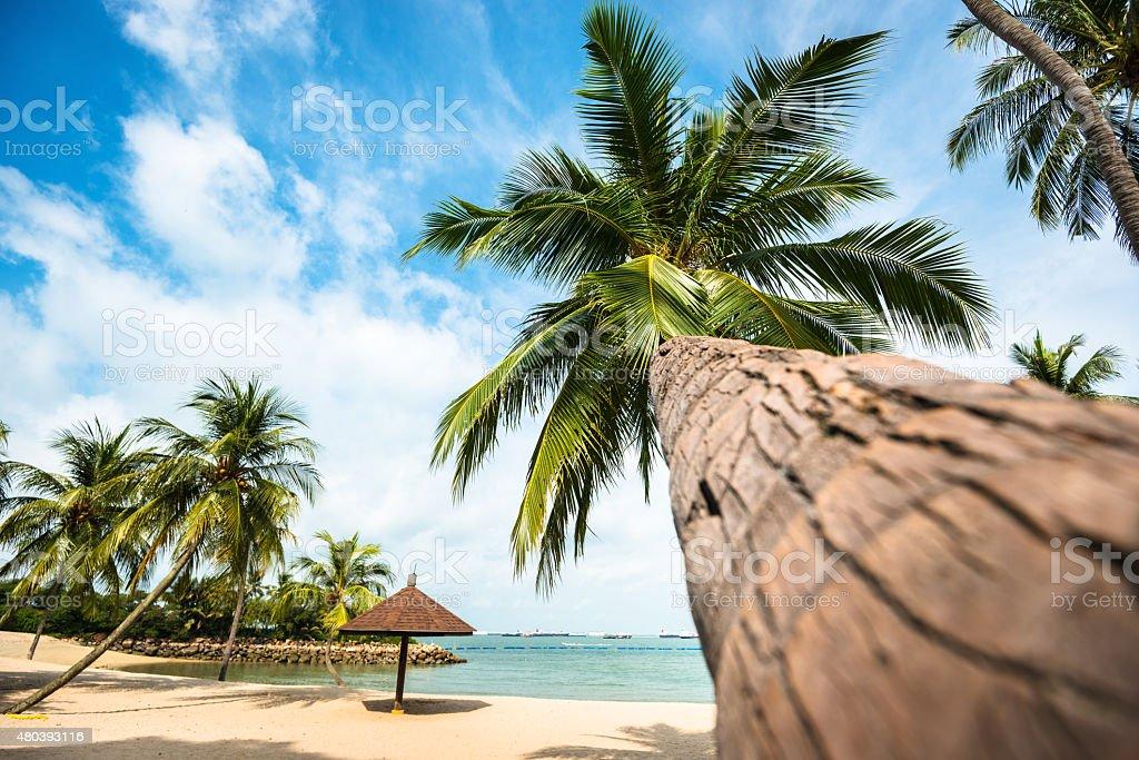 Tropical palm on the palawan beach - sentosa island singapore stock photo
