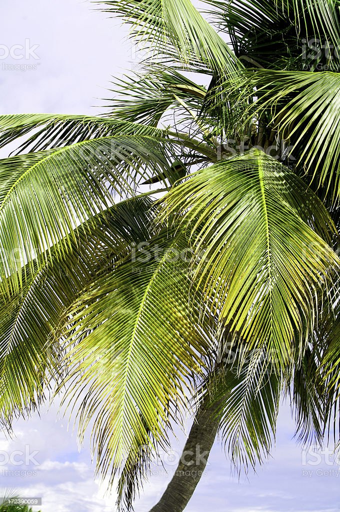 Palma tropicale foto stock royalty-free