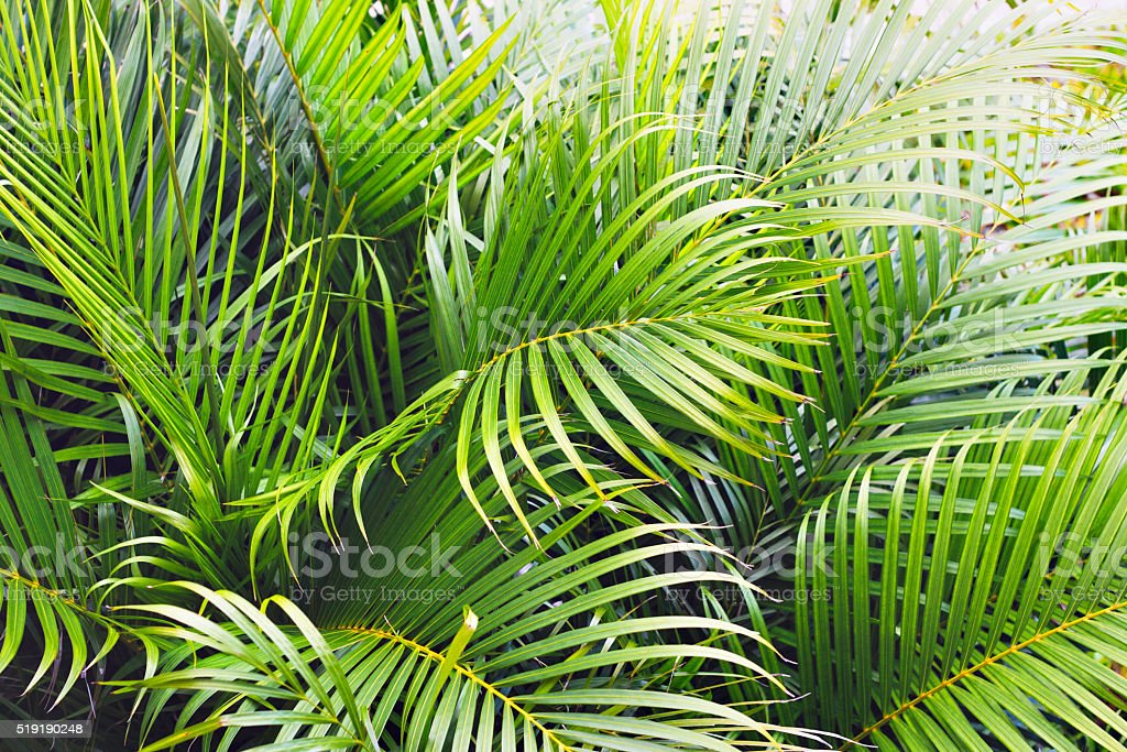 Tropical palm tree leaves background stock photo