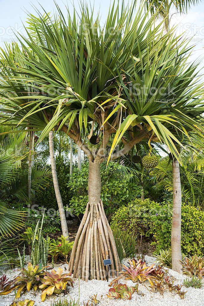 Tropical Palm Tree royalty-free stock photo