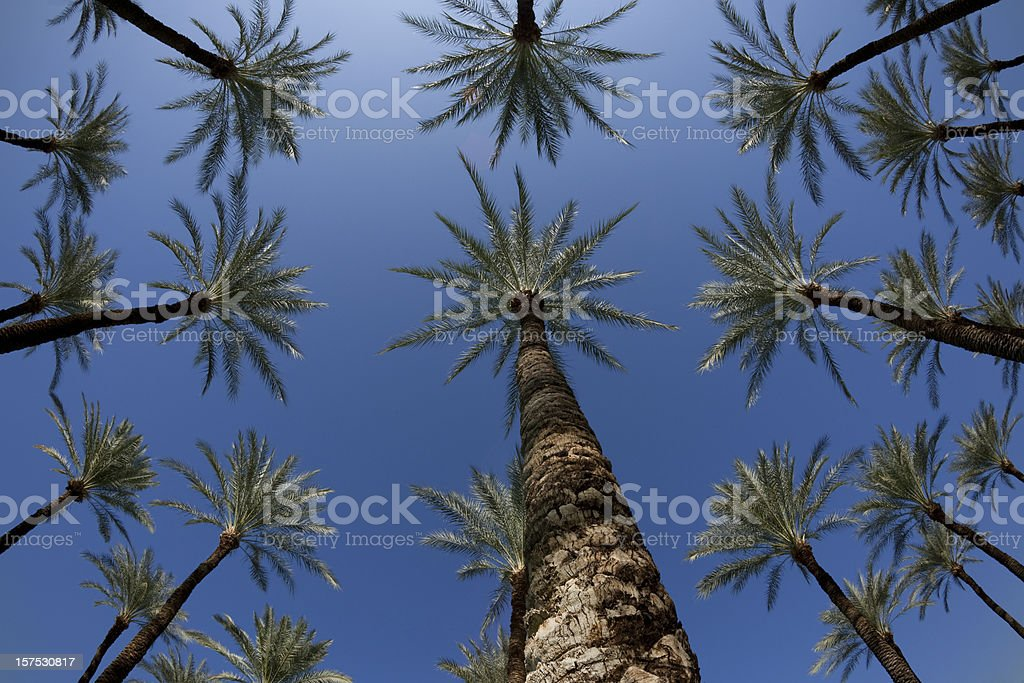Tropical Palm Trees in Grove Against Blue Sky, Fisheye royalty-free stock photo