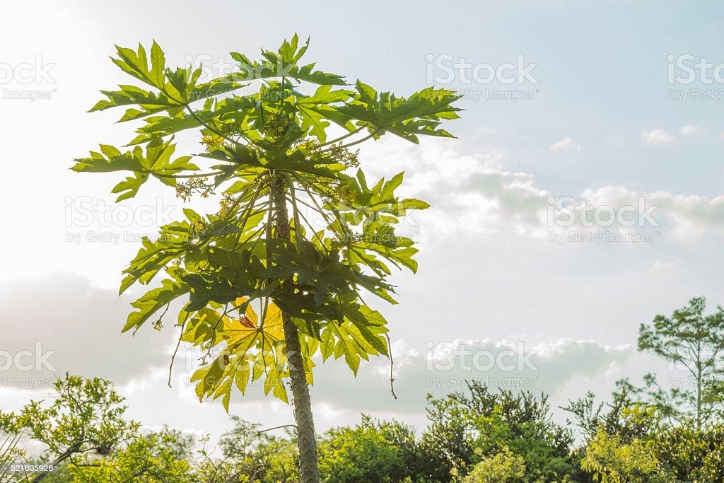 Tropical Papaya Tree Growing in Everglades Big Cypress National Park stock photo