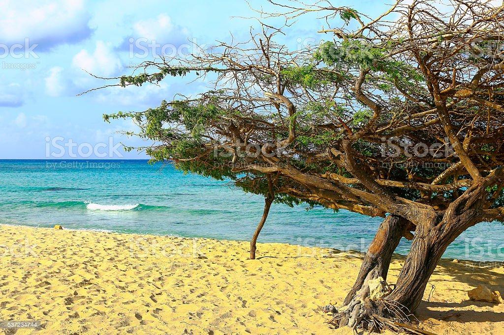 Tropical paradise: turquoise caribbean beach, lonely divi divi, Aruba, Antilles stock photo
