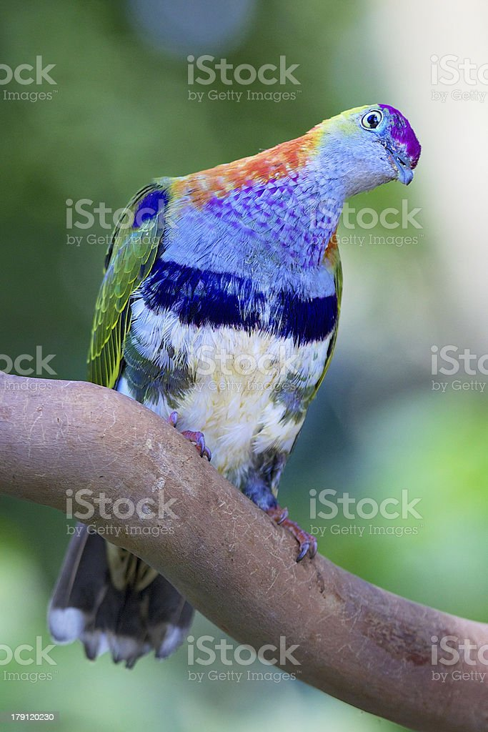 Tropical Pigeon Perched On Branch royalty-free stock photo