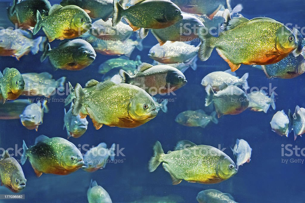 tropical piranha fishes in natural environment stock photo