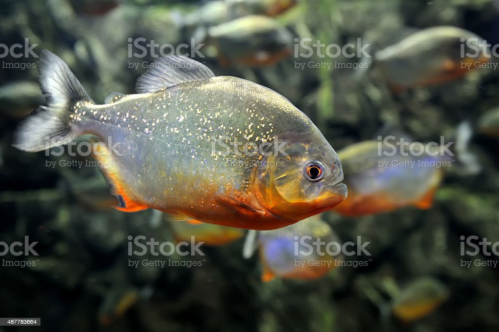 Tropical piranha fishes stock photo