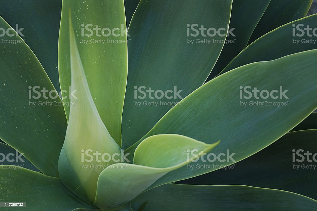 Tropical Plant. Attenuata. stock photo