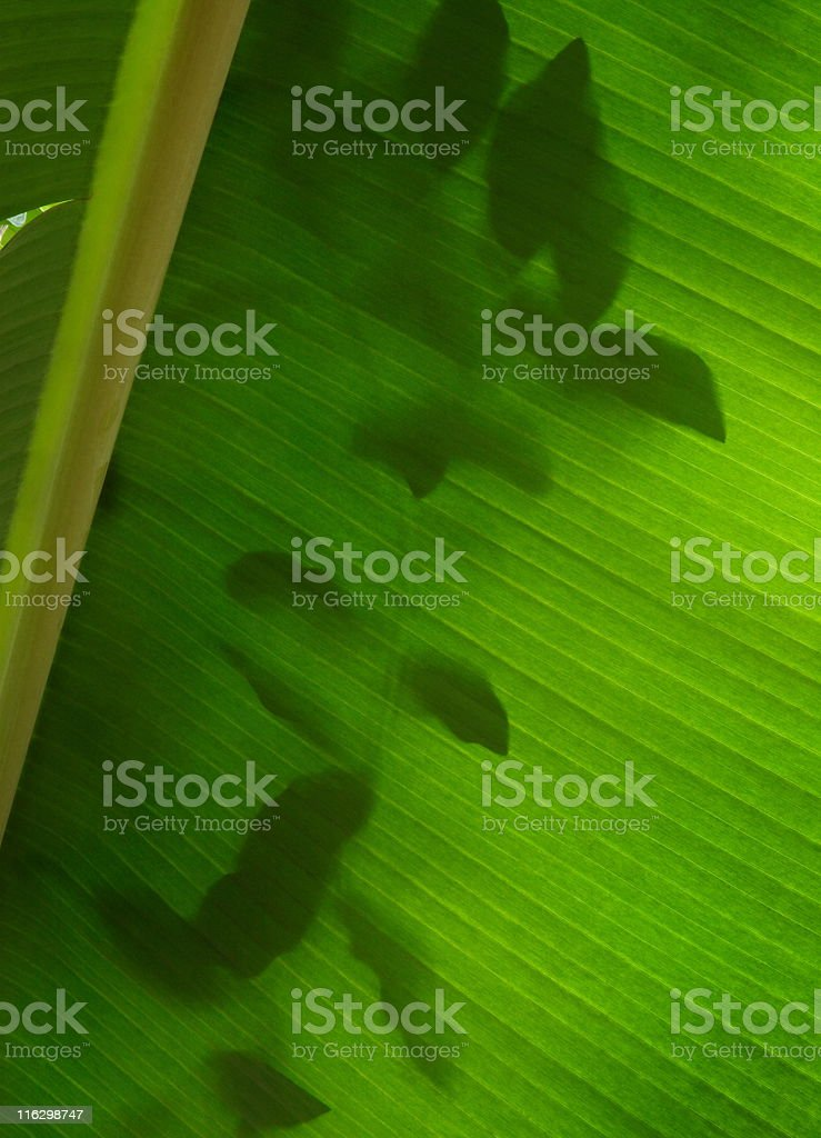 Tropical Plant Leaf Veins royalty-free stock photo