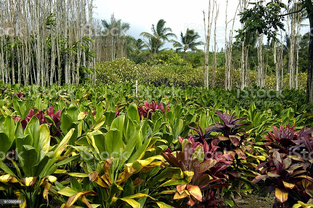 Tropical Plantation royalty-free stock photo
