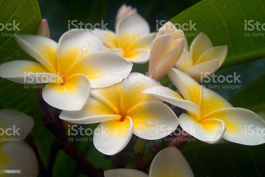 Tropical Plumeria cluster stock photo