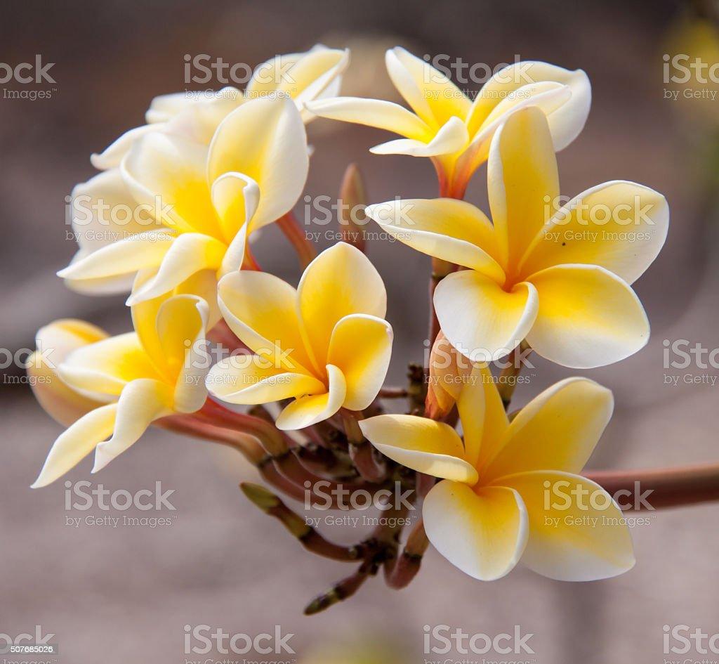 Tropical plumeria flower stock photo